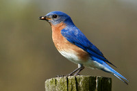 Eastern Bluebird on Post (Male)