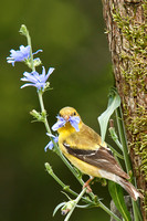 American Goldfinch with Cornflower 1