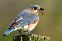 Eastern Bluebird with Caterpiller (Female)